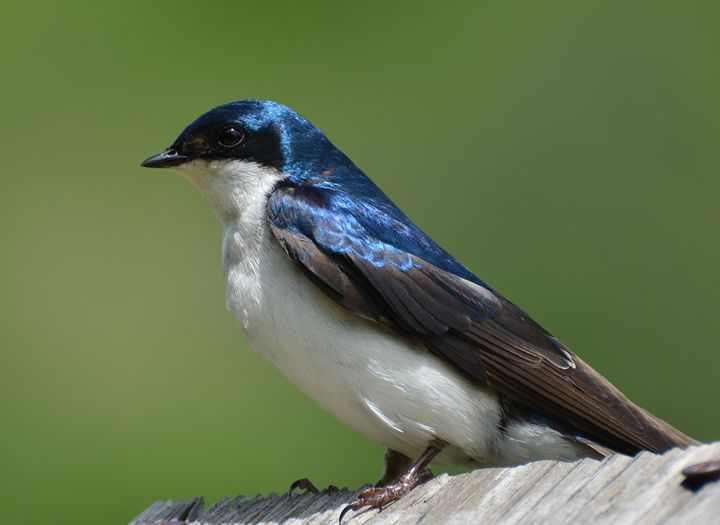 Tree Swallow - NatureBabe Photos
