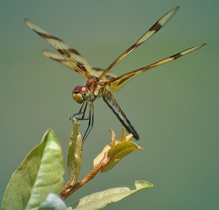 Calico Pennant Dragonfly - NatureBabe Photos