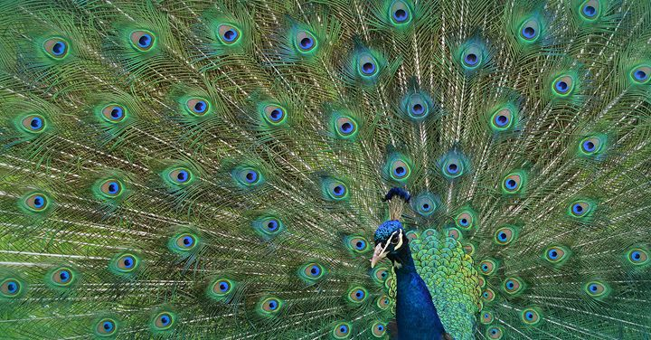 Peacock Fanning his Tail Feathers - NatureBabe Photos