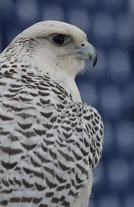White-Morph Gyrfalcon - NatureBabe Photos