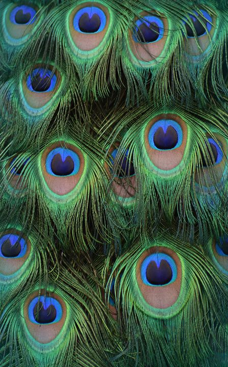 Peacock Feathers - NatureBabe Photos