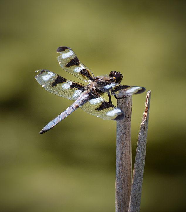 Twelve-Spotted Skimmer Dragonfly - NatureBabe Photos