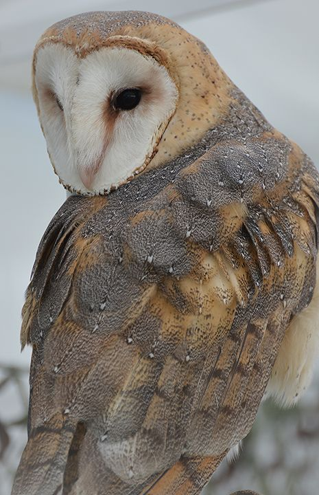 Barn Owl - NatureBabe Photos