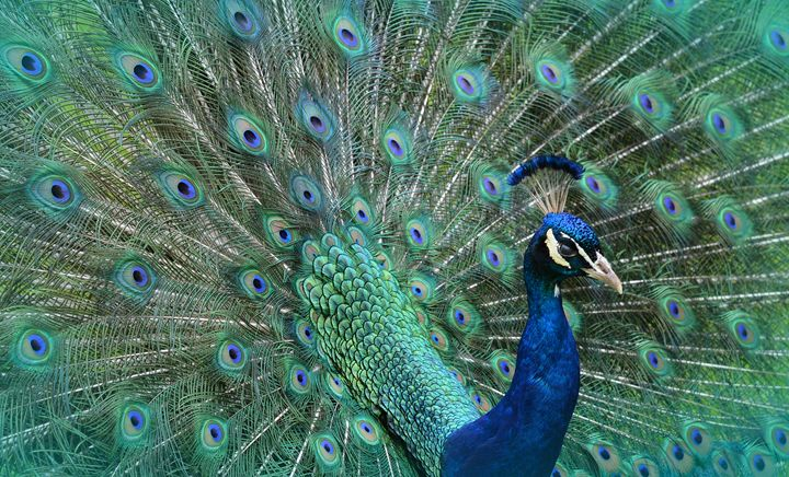 Peacock Displaying Tail Feathers - NatureBabe Photos