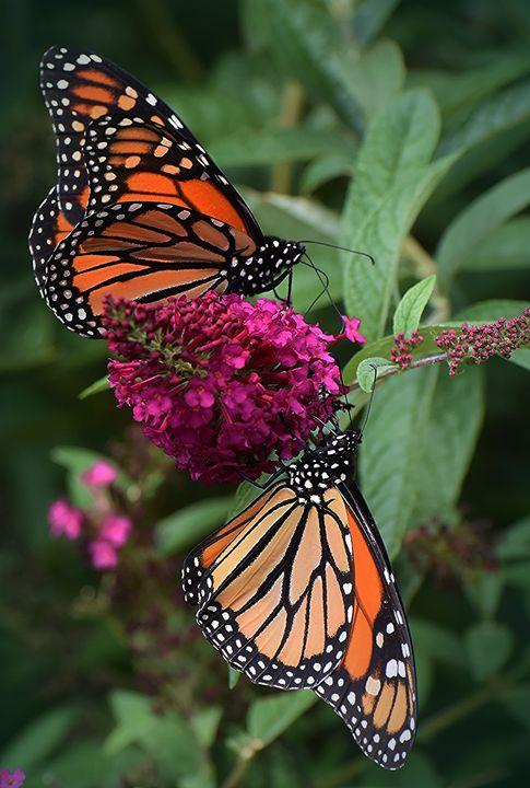 Monarch Pair - NatureBabe Photos