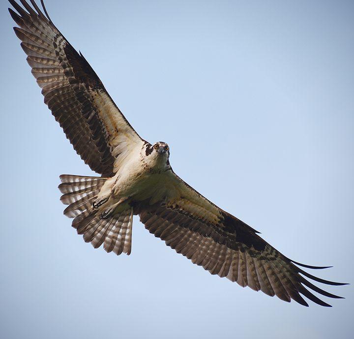 Soaring Osprey - NatureBabe Photos
