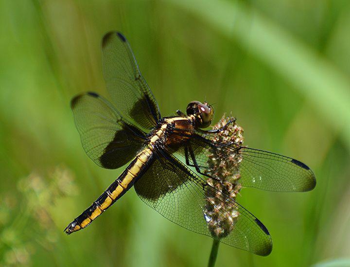Widow Skimmer Dragonfly - NatureBabe Photos