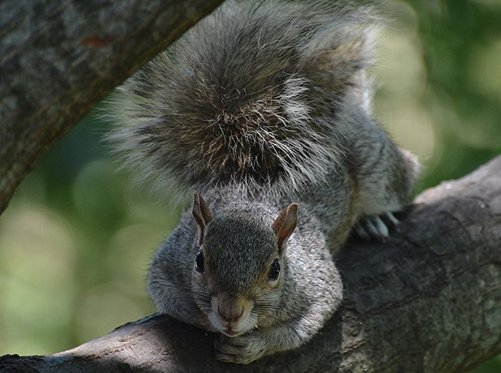 Squirrel Lounging on Branch - NatureBabe Photos