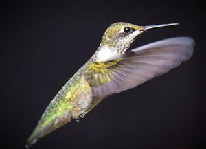 Female Rudy-Throated Hummingbird - NatureBabe Photos