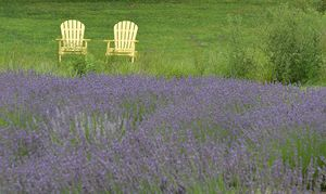 Overlooking the Lavender Field - NatureBabe Photos