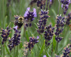 Bee on Lavender - NatureBabe Photos