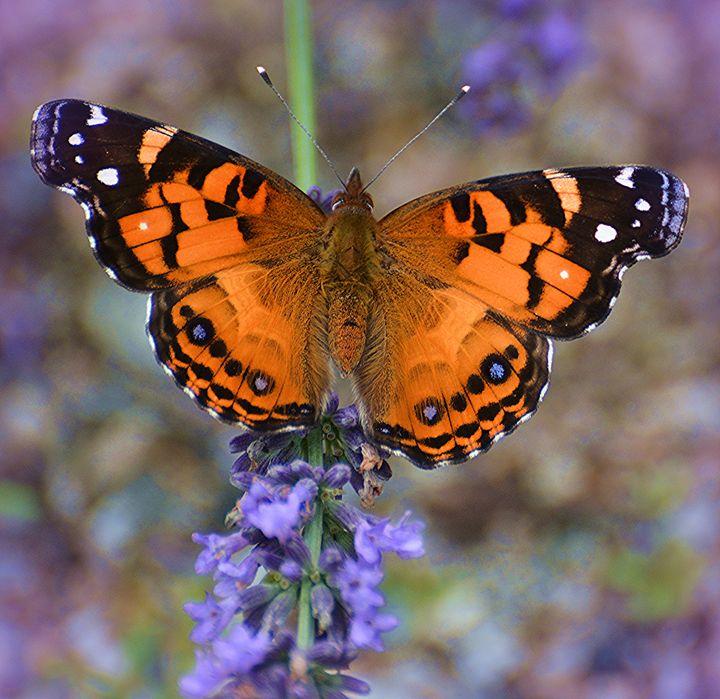 American Lady on Lavender - NatureBabe Photos