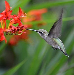 Hummingbird Enjoying Nectar - NatureBabe Photos