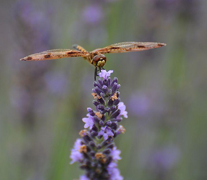 Dragonfly on Lavender - NatureBabe Photos