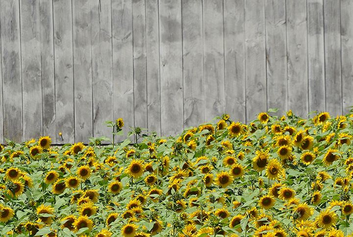 Sunflower Field against the Barn - NatureBabe Photos