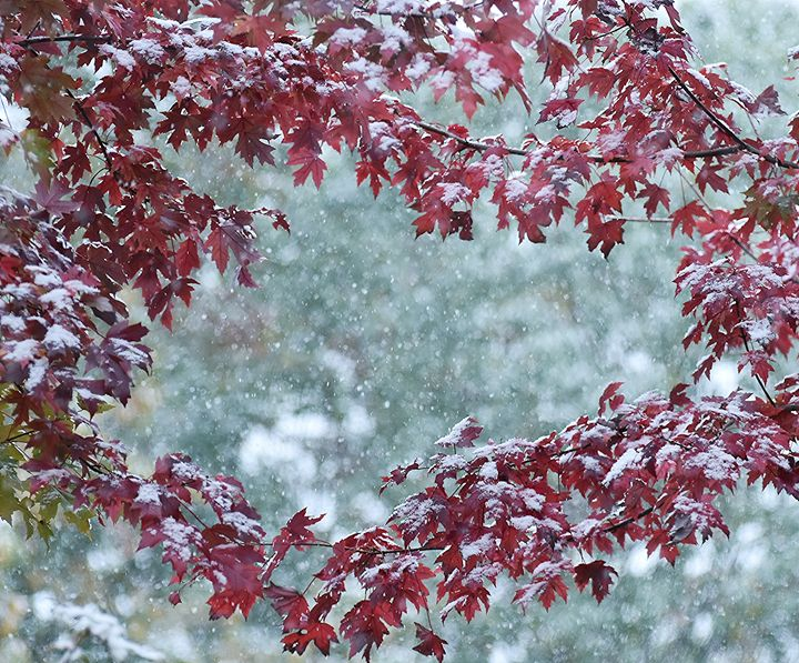 Maples in the Snow - NatureBabe Photos