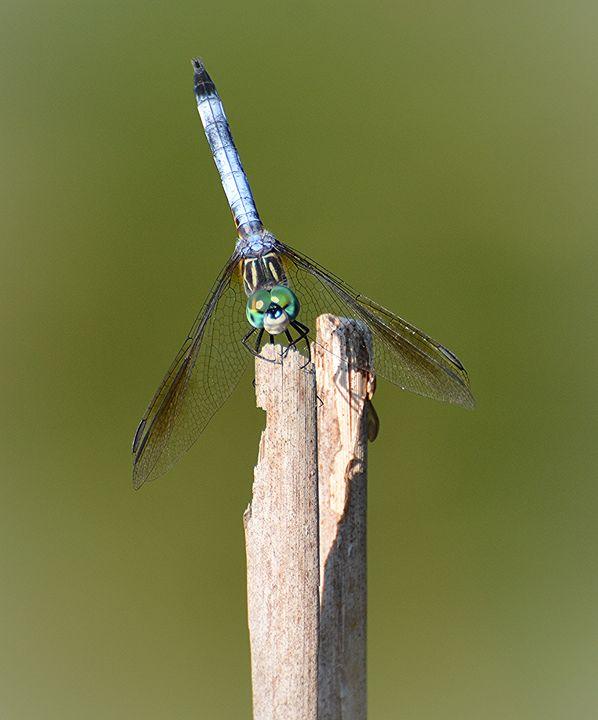 Blue Dasher at the Pond - NatureBabe Photos