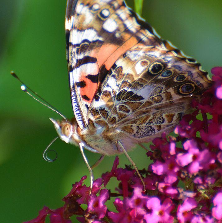Painted Lady Macro Shot - NatureBabe Photos