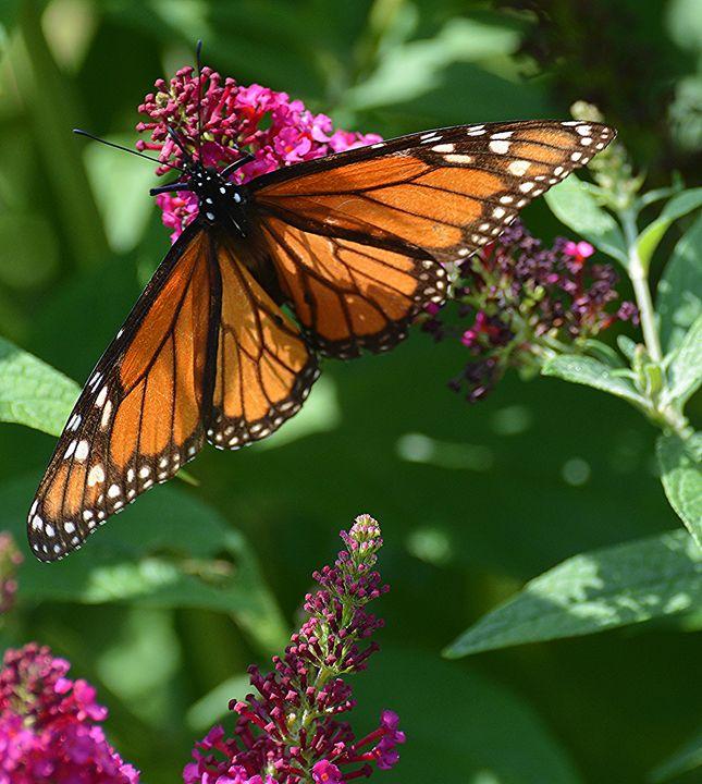 Majestic Monarch - NatureBabe Photos