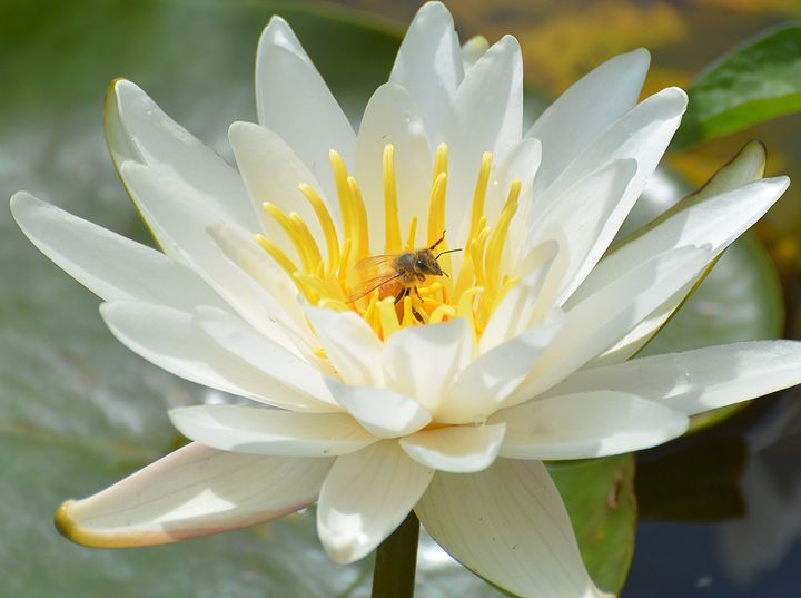 Honey Bee in Water Lily - NatureBabe Photos