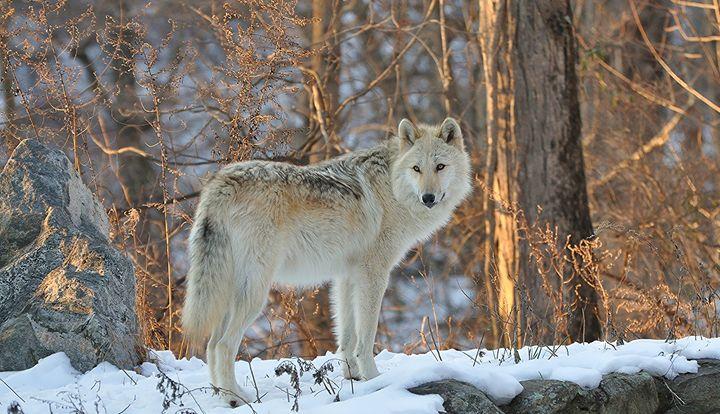 Winter Wonderland Wolf - NatureBabe Photos