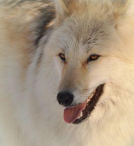 Wolf Face - NatureBabe Photos
