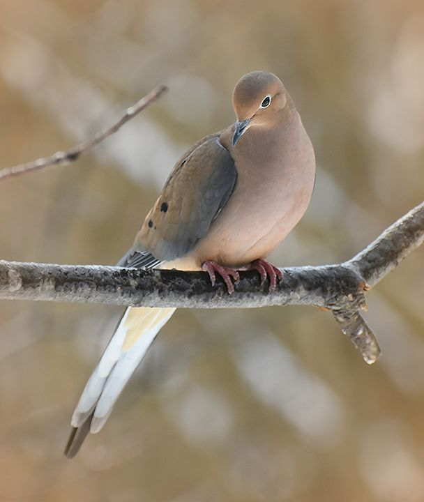 Elegant Mourning Dove - NatureBabe Photos