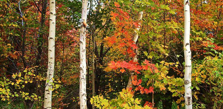 Birch Amid Colorful Foliage - NatureBabe Photos