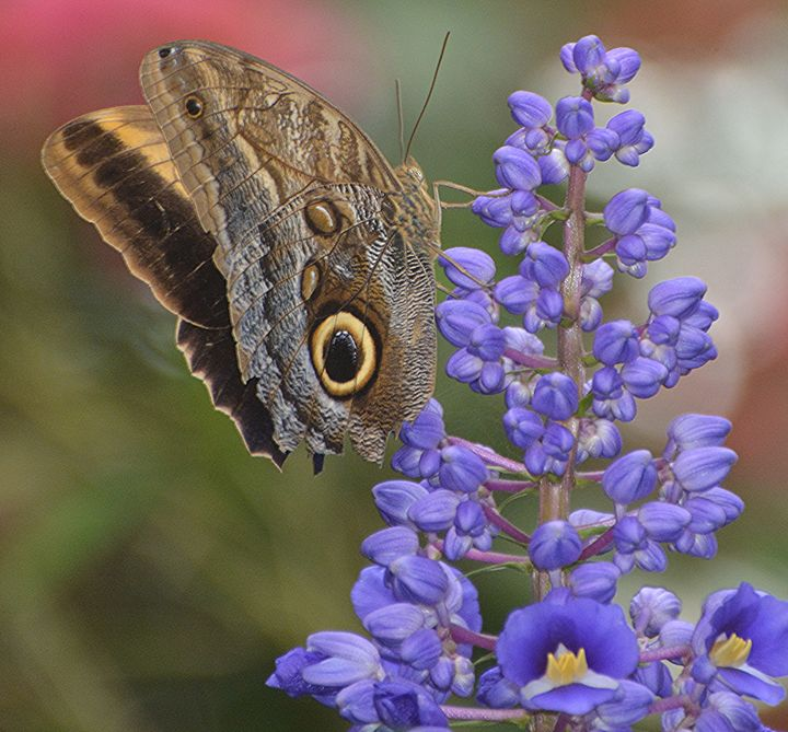 Owl Butterfly on Purple Flowers - NatureBabe Photos