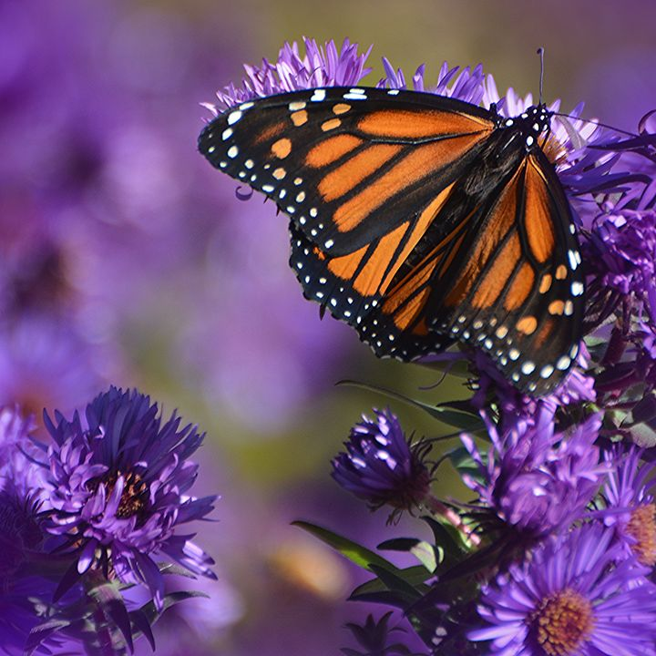 Monarch Migration - NatureBabe Photos