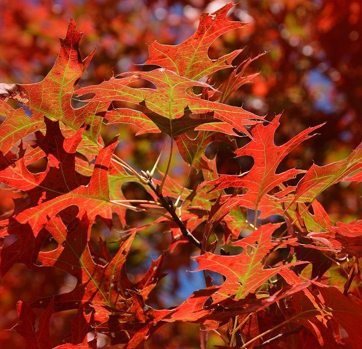 Red Oak Leaves - NatureBabe Photos