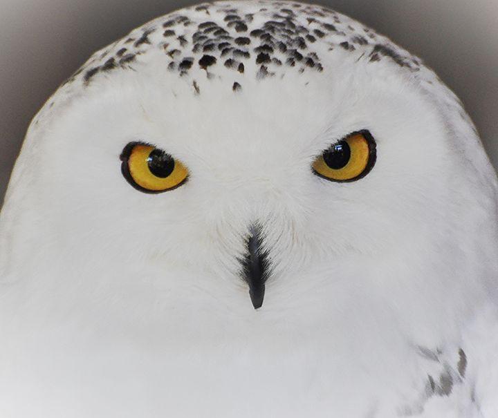 Snowy Owl Face - NatureBabe Photos