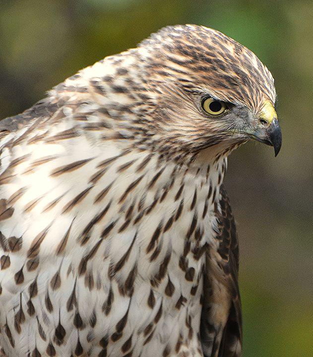 Juvenile Cooper's Hawk Stalking - NatureBabe Photos