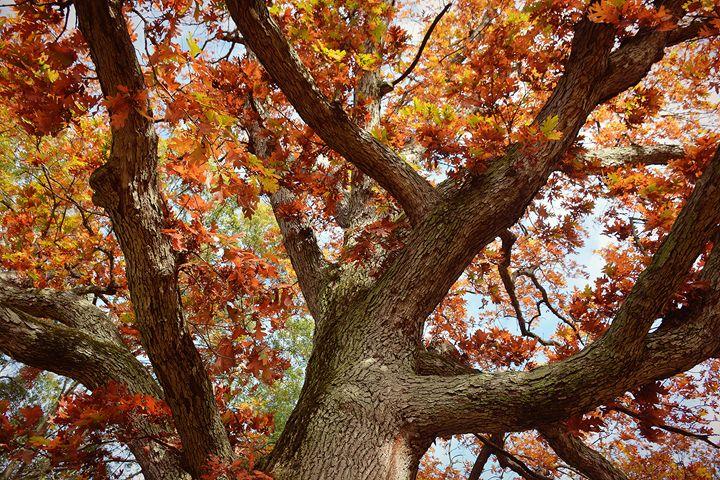 Mighty Oak - NatureBabe Photos