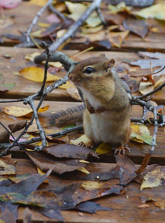 Standing Chipmunk - NatureBabe Photos