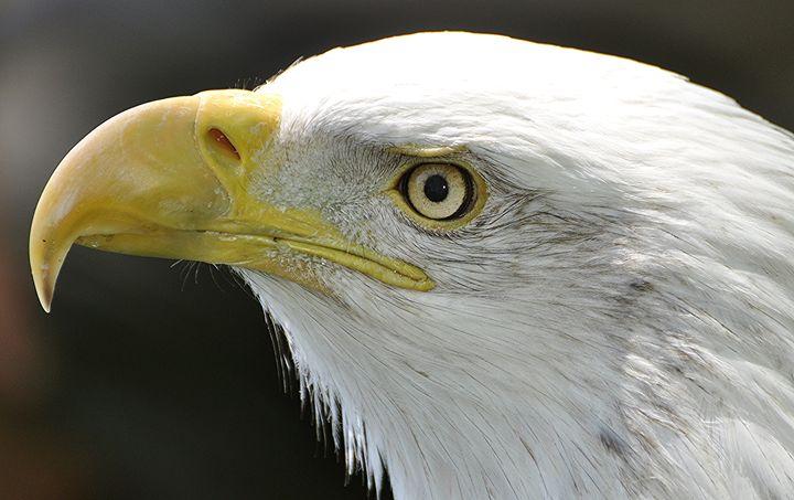 Bald Eagle Head - NatureBabe Photos