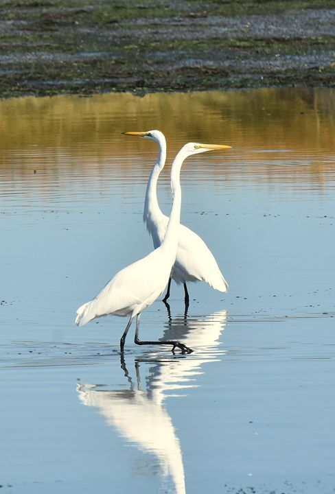 Egret Pair - NatureBabe Photos