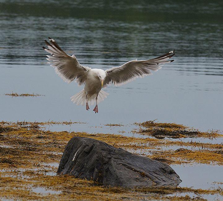 Gull Landing - NatureBabe Photos