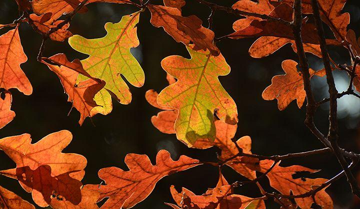 November Oak Leaves - NatureBabe Photos
