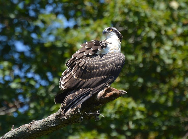 Juvenile Osprey - NatureBabe Photos