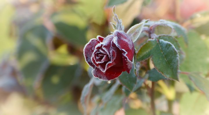 Frost-covered Rose - NatureBabe Photos
