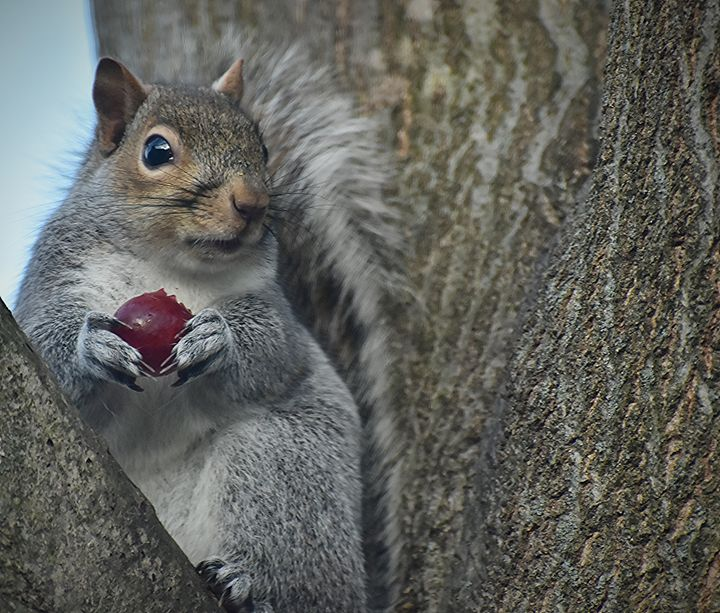 Squirrel Eating a Grape - NatureBabe Photos