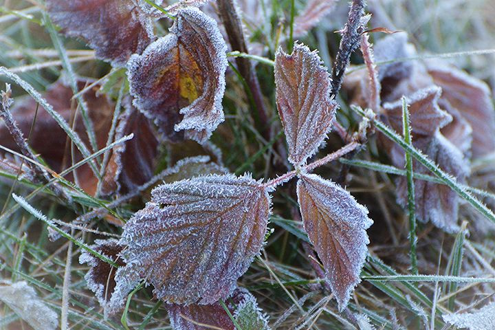 Frosty Leaves - NatureBabe Photos