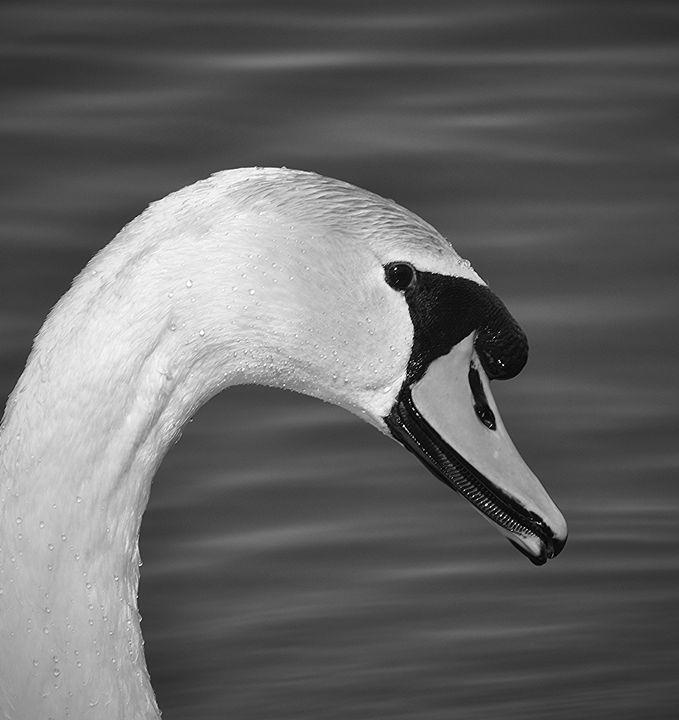 Mute Swan Close-up - NatureBabe Photos