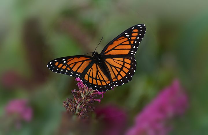 Viceroy Butterfly - NatureBabe Photos