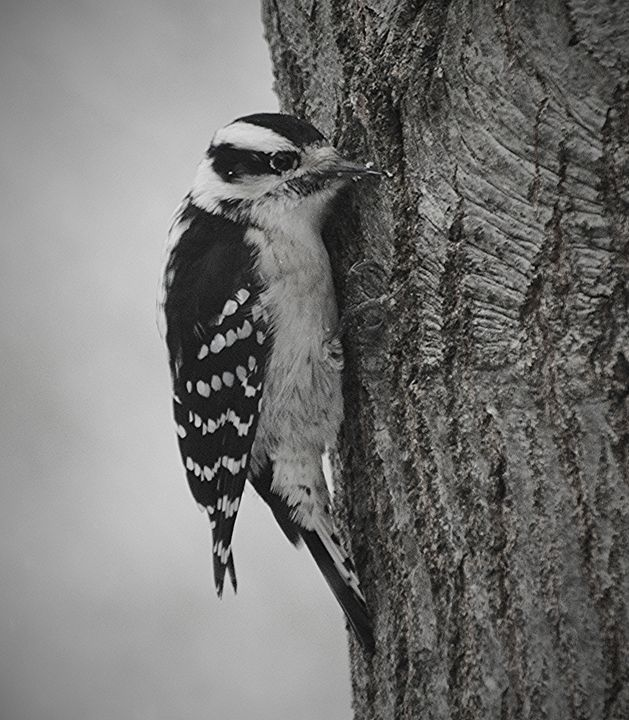 Downy Woodpecker on Oak Tree - NatureBabe Photos