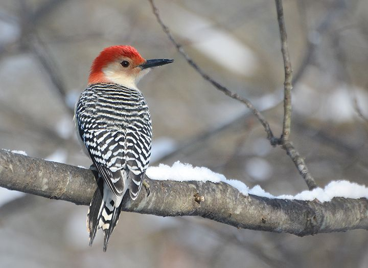 Red-Bellied Woodpecker in Snow - NatureBabe Photos