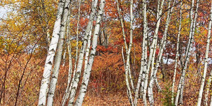 Birch Trees in Autumn - NatureBabe Photos