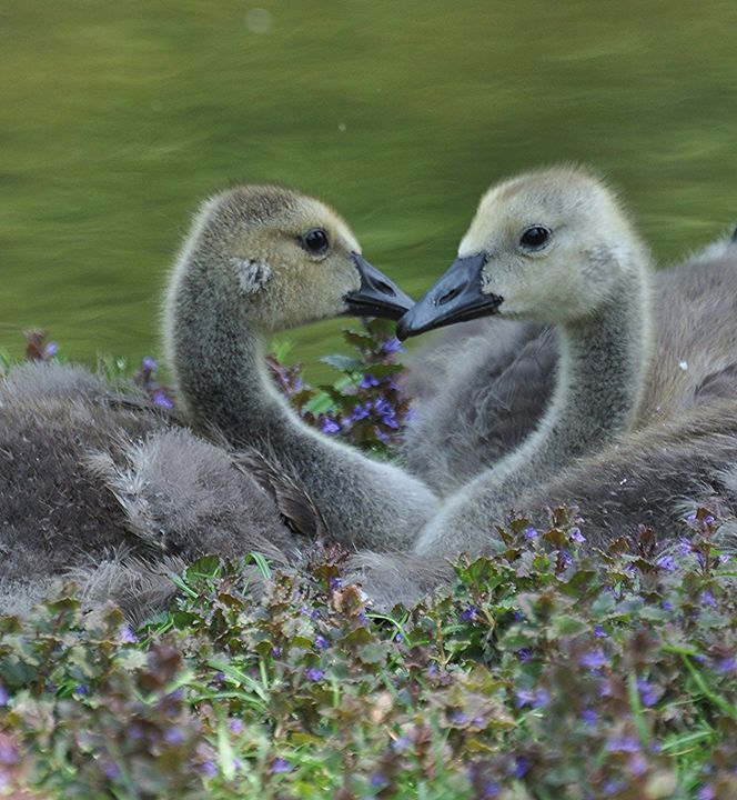 Loving Goslings - NatureBabe Photos