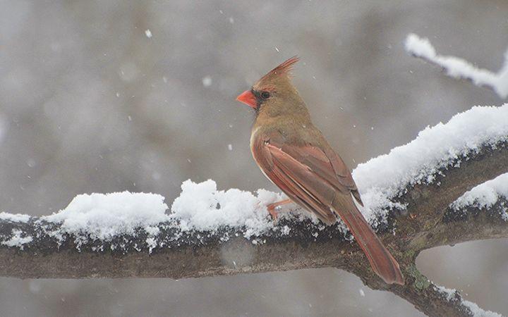 Female Cardinal in the Snow - NatureBabe Photos